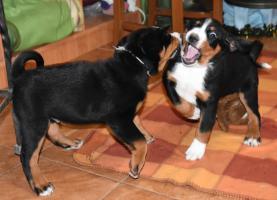 Appenzeller Sennenhund Welpen mit Papiere