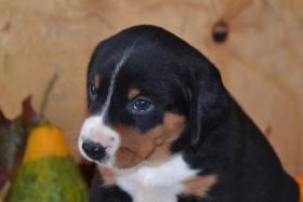 Foto 5 Appenzeller Sennenhund Welpen mit Papiere FCI