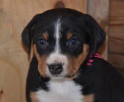 Foto 7 Appenzeller Sennenhund Welpen mit Papiere FCI