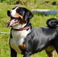Foto 2 Appenzeller Sennenhund Welpen mit Papiere FCI