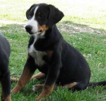 Foto 3 Appenzeller Sennenhund Welpen mit Stammbaum