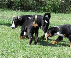 Foto 4 Appenzeller Sennenhund Welpen mit Stammbaum