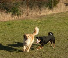 Appenzeller Sennenhund junger Hund mit Papiere