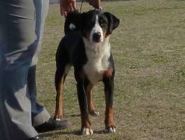 Foto 3 Appenzeller Sennenhund - Welpen zu vergeben