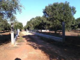 Foto 3 Apulien, Puglia, San Pietro in Bevagna Privatverkauf wunderschöner Olivenhain mit kl.Haus zum Fertigrenovieren