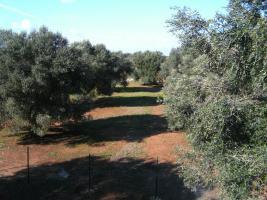 Foto 7 Apulien, Puglia, San Pietro in Bevagna Privatverkauf wunderschöner Olivenhain mit kl.Haus zum Fertigrenovieren