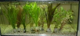 Aquarienpflanzen 10 Bund 10 €