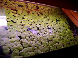 Aquarienpflanzen gegen Algen, portofrei / Ricciamoos auf Anfrage
