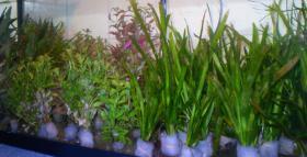 Aquariumpflanzen Bund 1 € !!!!