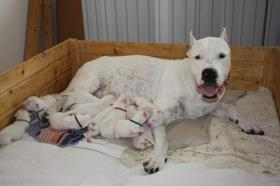 Foto 2 Argentinische Dogge (Dogo Argentino) - erstklassige Welpen zum Verkauf
