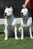 Argentinische Dogge - exklusive Welpen