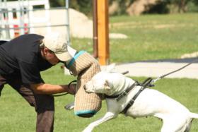 Foto 2 Argentinische Dogge - exklusive Welpen