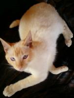 Foto 3 Aron, Cornish rex / Siam mix