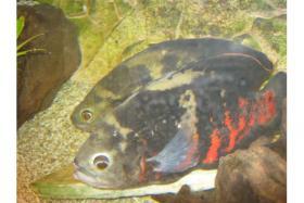 Astronotus ocellatus Bahia red Wildfang-Pärchen