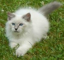 Atemberaubend Sibirische Colorpoint Kätzchen.Neva masquarade mit Papiere