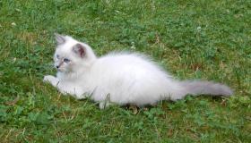 Foto 2 Atemberaubend Sibirische Colorpoint Kätzchen.Neva masquarade mit Papiere