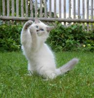 Foto 3 Atemberaubend Sibirische Colorpoint Kätzchen.Neva masquarade mit Papiere