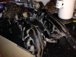 Atemberaubende Bengal katzchen ab sofort abgabebereit.