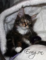 Atlantic Acadia`s E-Wurf, schmusige Maine Coon Kitten mit FIFé-Stammbaum