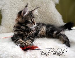 Foto 2 Atlantic Acadia`s E-Wurf, schmusige Maine Coon Kitten mit FIFé-Stammbaum