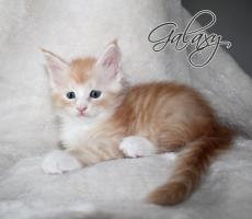 Atlantic Acadia`s exclusiver G- Wurf, schmusige Kitten aus FIFè Champion Zucht