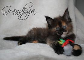Foto 3 Atlantic Acadia`s exclusiver G- Wurf, schmusige Kitten aus FIFè Champion Zucht