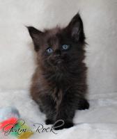 Foto 4 Atlantic Acadia`s exclusiver G- Wurf, schmusige Kitten aus FIFè Champion Zucht