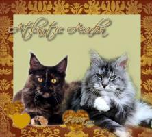 Foto 5 Atlantic Acadia`s exclusiver G- Wurf, schmusige Kitten aus FIFè Champion Zucht
