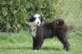 Aufgrund Krankheit ist ein Austr. Shepherd/Terrier-Mix abzugeben