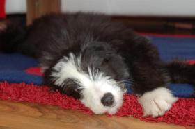 Foto 2 Aufgrund Krankheit ist ein Austr. Shepherd/Terrier-Mix abzugeben