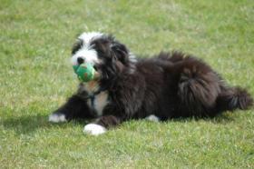 Foto 3 Aufgrund Krankheit ist ein Austr. Shepherd/Terrier-Mix abzugeben
