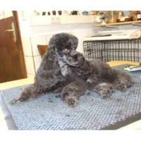 Ausbildung zum Hundegroomer bzw. Hunde-pfleger