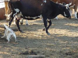 Foto 2 Australian Cattle Dog