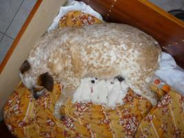 Foto 3 Australian Cattle Dog