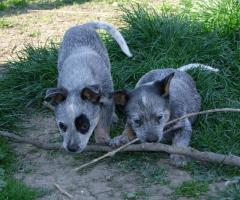 Australian Cattle Dog - blaue Welpen