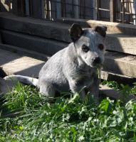 Foto 2 Australian Cattle Dog - blaue Welpen