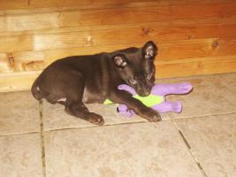 Foto 2 Australian Kelpie