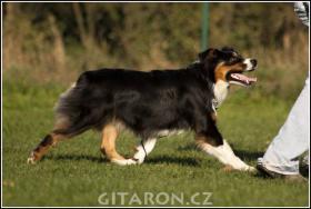 Foto 3 Australian Shepherd