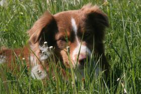 Australian Shepherd Deckr�de (ASCA) V-gek�rt - Deckanzeige -