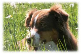 Foto 2 Australian Shepherd Deckr�de (ASCA) V-gek�rt - Deckanzeige -
