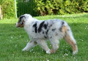 Foto 2 Australian Shepherd mit PP FCI