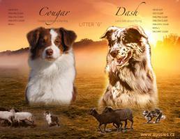 Australian Shepherd mit Papiere