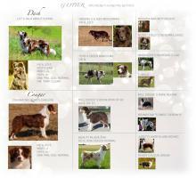 Foto 3 Australian Shepherd mit Papiere