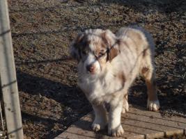 Foto 3 Australian Shepherd Welpe