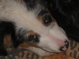 Australian-Shepherd Welpe! Blue-Merle-Rüde, 3 Monate