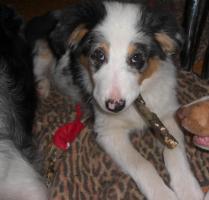 Foto 3 Australian-Shepherd Welpe! Blue-Merle-Rüde, 3 Monate