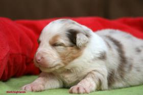 Foto 6 Australian Shepherd Welpen