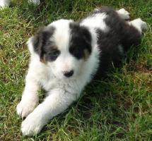 Foto 8 Australian Shepherd Welpen!!!