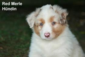 Foto 7 Australian Shepherd Welpen
