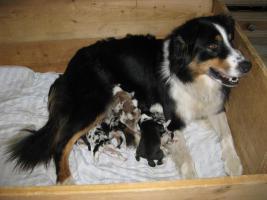 Foto 2 Australian Shepherd Welpen